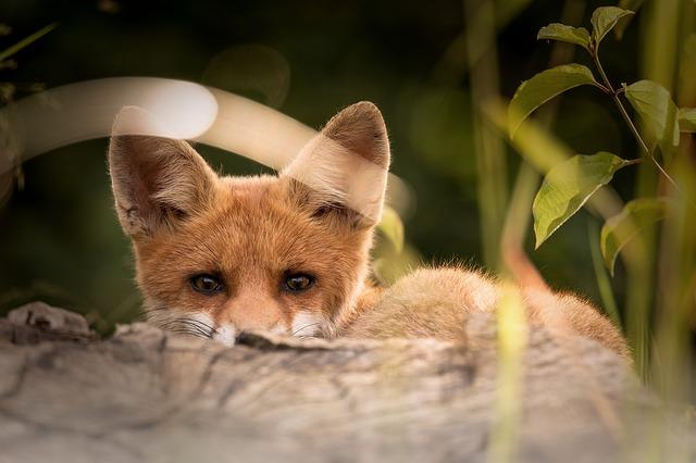 Líšky strácajú svoju prirodzenú plachosť